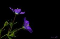 Kadın Aynası (legousia Speculum-veneris (l.) Chaıx