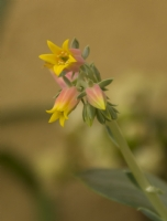 Sukulent Çiçeği