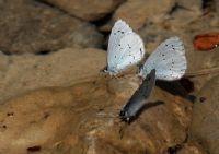 Kelebekler Su İçer Mi ?