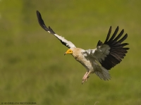 Küçük Akbaba . Egyptian Vulture . Neophron Percnop