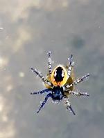 Sudaki Örümcek