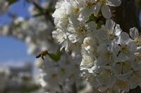 Bahar, Çiçek Ve Arı.