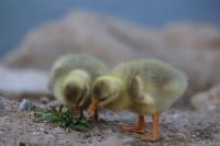 Yavru Ördekler