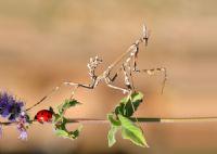 Empusa Pennata +coccinellidae