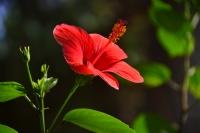 Mersin Çiçeği