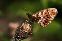 Mor İnci Kelebeği