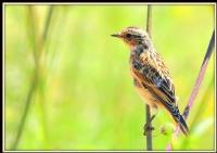Köyümün Kuşları