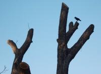 Yapraksız Ağaç Ve Karga