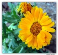 Aynısefa Çiçeği