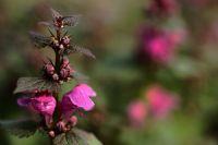 Ballıbaba Çiçeği