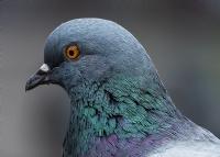 Güvercin Ayrıntı