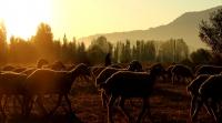 G�ndo�umu Ve Koyunlar
