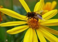 Arı Vız