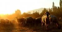 G�n Do�umunda Koyunlar