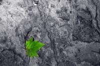 Yıllanmış Çınarın Genç Yaprağı