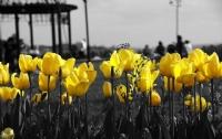 Sarı Laleler...
