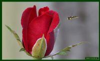Arı Ve Gül