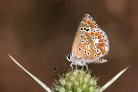 Çokgözlü Esmer (aricia Agestis)