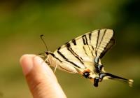 Bir Kelebeğim Oldu..