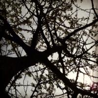 Ağlat Ağacı/ilkbahar