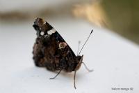 Atalanta Kelebeği 2