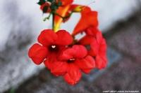 Güllerim Solduu