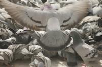 Güvercin Uçuverdi...