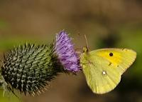Sarı Azamet