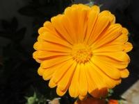 Katlı Turuncu Çiçeğim