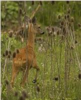 Karaca .. Capreolus Capreolus .. Roe Deer