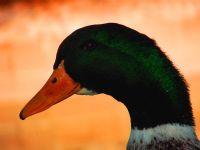 Yeşil Başlı Gövel Ördek