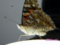 Kelebeğin Gözleri..