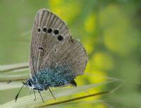 Karagözlü Mavi