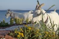 Keçiler Ve Deniz