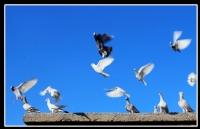 Birkaç Deli Güvercin