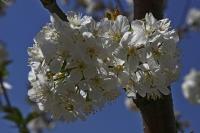 Kiraz Çiçekleri