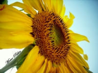 'umut Çiçeği'