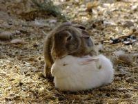 İki Tavşan