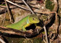 Yeşil Kertenkele (lacerta Trilineata)