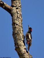 Ağaçkakan Woody