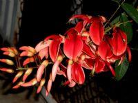 Mercan Ağacı Çiçeği