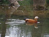 Kınalı Ördek