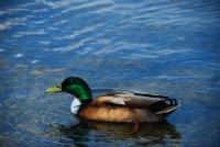 Yeşil Başlı Ördek..