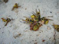 Arıların Sesizliği