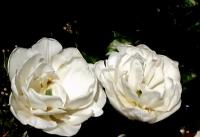 Beyaz Laleler...