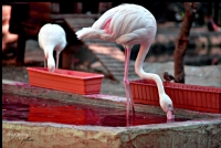 Yanlız Flamingo