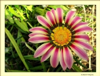 Gazanya Çiçeği