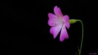 Karamuk Çiçeği (rosea Agrostemma)