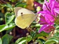Beyaz Kelebek...