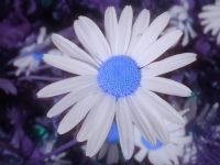 Mavi Papatya
